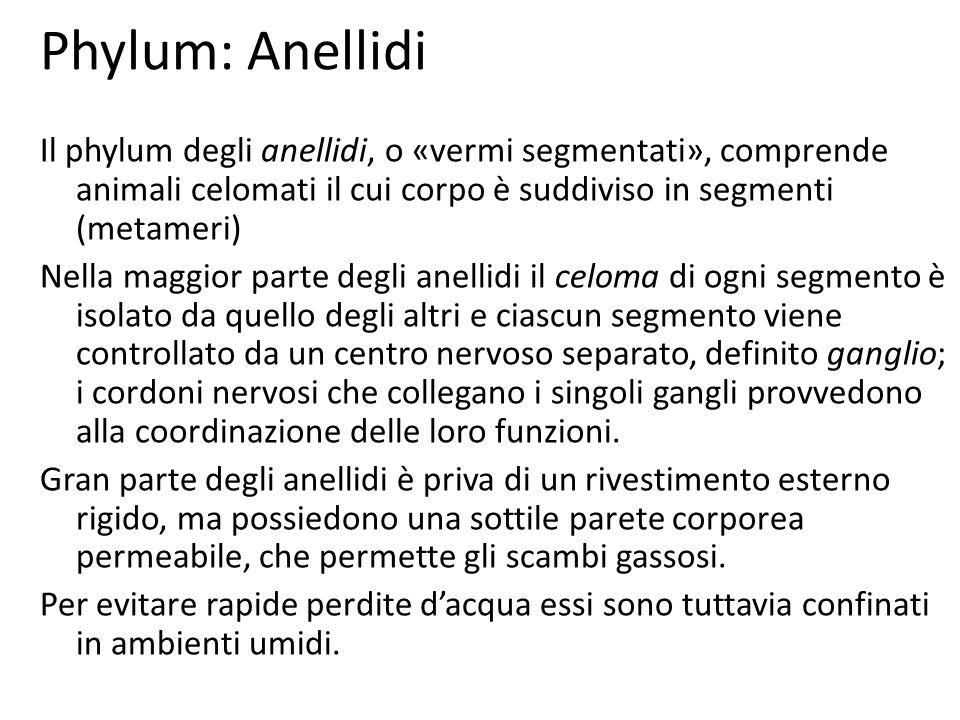 Phylum: Anellidi Il phylum degli anellidi, o «vermi segmentati», comprende animali celomati il cui corpo è suddiviso in segmenti (metameri)