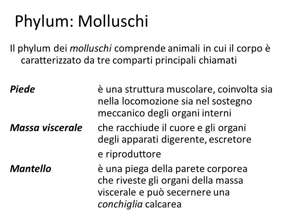 Phylum: Molluschi Il phylum dei molluschi comprende animali in cui il corpo è caratterizzato da tre comparti principali chiamati.