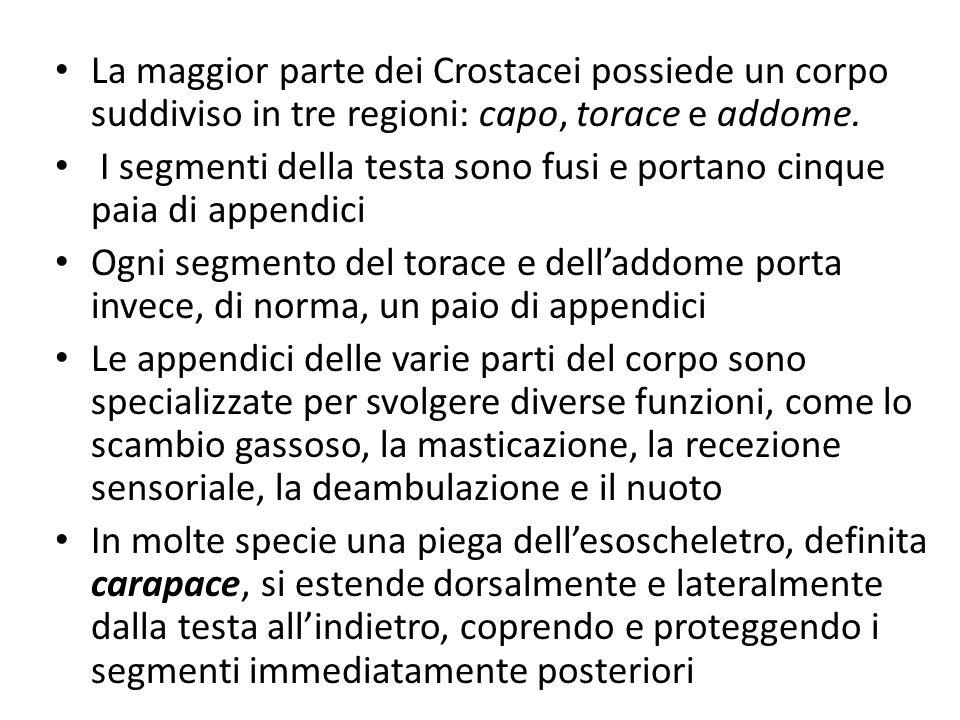 La maggior parte dei Crostacei possiede un corpo suddiviso in tre regioni: capo, torace e addome.