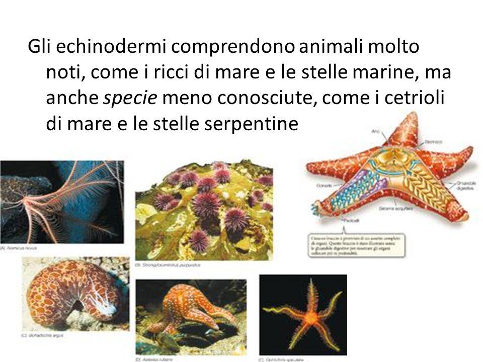 Gli echinodermi comprendono animali molto noti, come i ricci di mare e le stelle marine, ma anche specie meno conosciute, come i cetrioli di mare e le stelle serpentine
