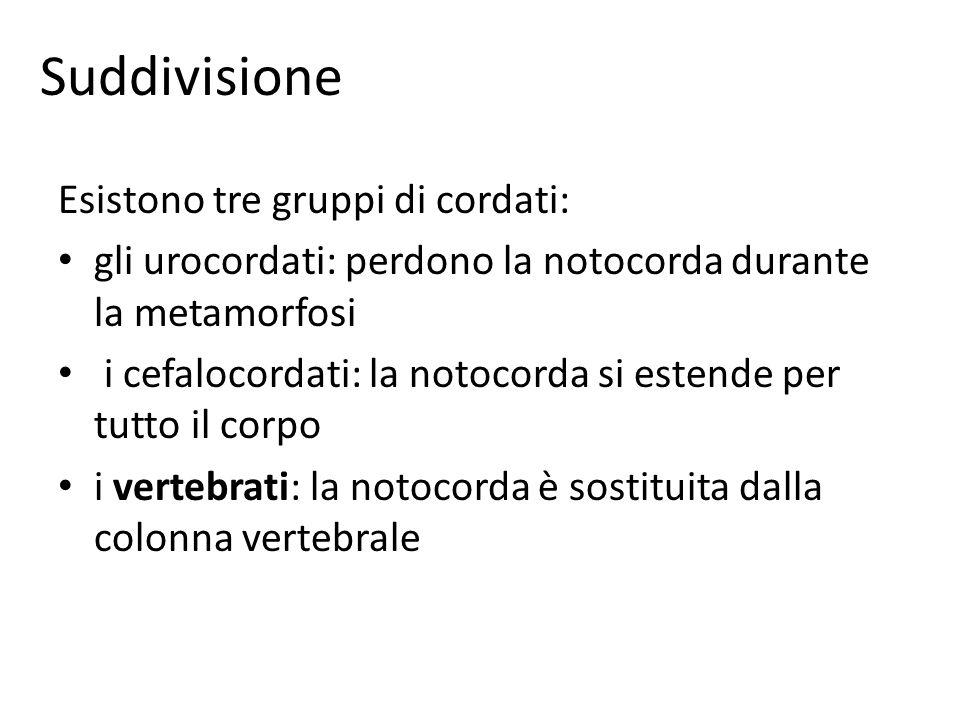 Suddivisione Esistono tre gruppi di cordati: