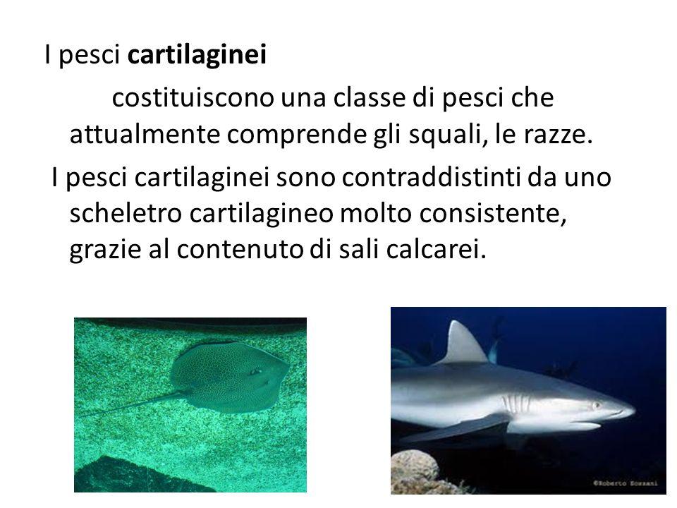 I pesci cartilaginei costituiscono una classe di pesci che attualmente comprende gli squali, le razze.