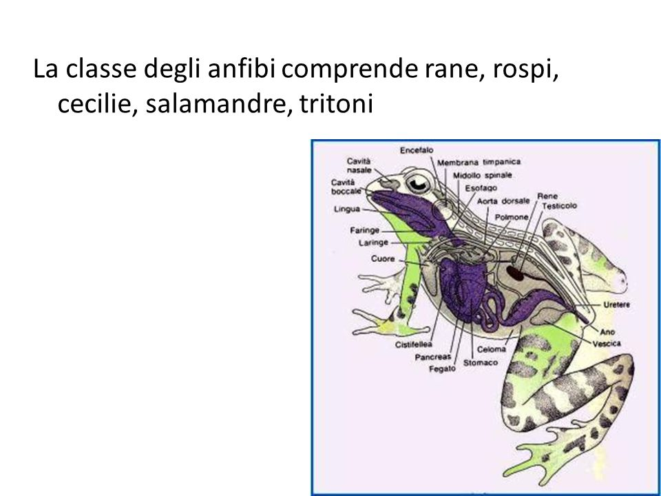 La classe degli anfibi comprende rane, rospi, cecilie, salamandre, tritoni