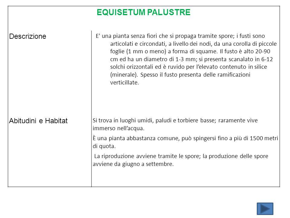 EQUISETUM PALUSTRE Descrizione Abitudini e Habitat