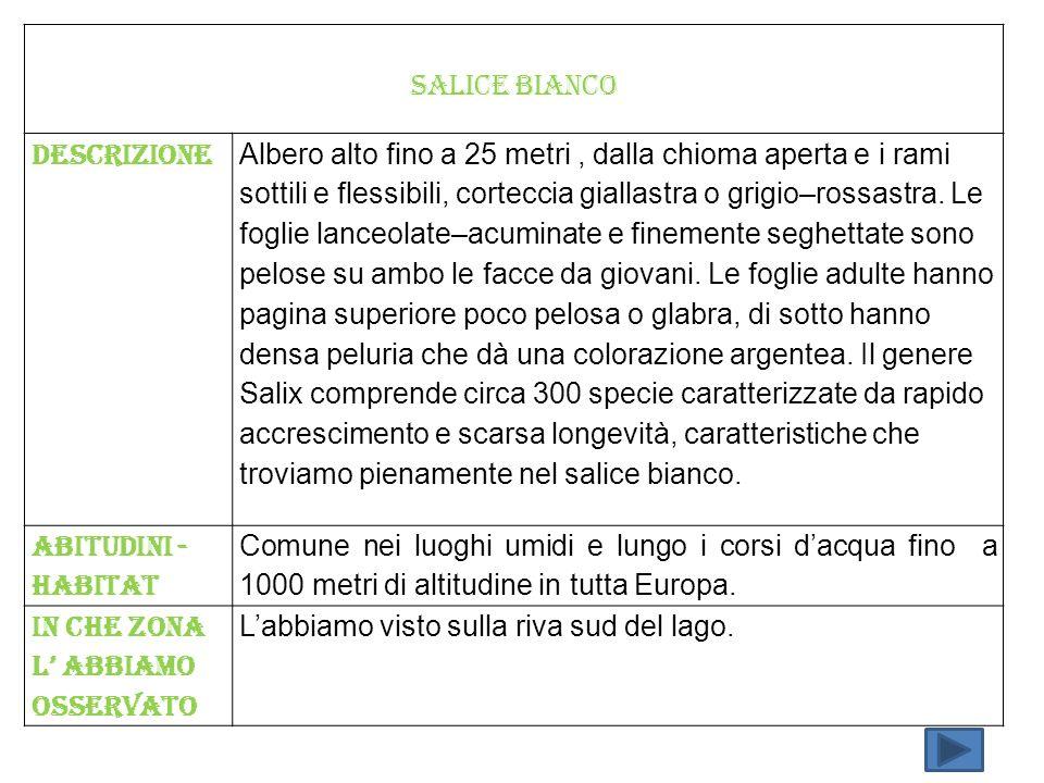 SALICE BIANCO Descrizione.