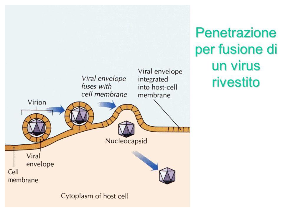 Penetrazione per fusione di un virus rivestito