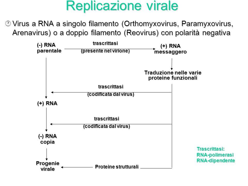 Replicazione virale Virus a RNA a singolo filamento (Orthomyxovirus, Paramyxovirus, Arenavirus) o a doppio filamento (Reovirus) con polarità negativa.