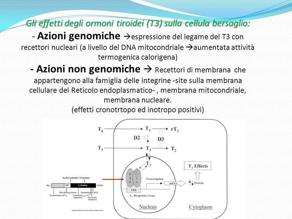 Gli effetti degli ormoni tiroidei (T3) sulla cellula bersaglio: - Azioni genomiche espressione del legame del T3 con recettori nucleari (a livello del DNA mitocondriale aumentata attività termogenica calorigena) - Azioni non genomiche  Recettori di membrana che appartengono alla famiglia delle integrine -site sulla membrana cellulare del Reticolo endoplasmatico- , membrana mitocondriale, membrana nucleare.