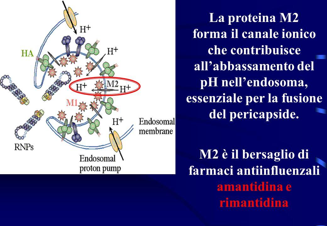 M2 è il bersaglio di farmaci antiinfluenzali amantidina e rimantidina