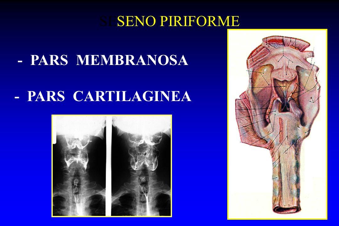 SESENO PIRIFORME - PARS MEMBRANOSA - PARS CARTILAGINEA