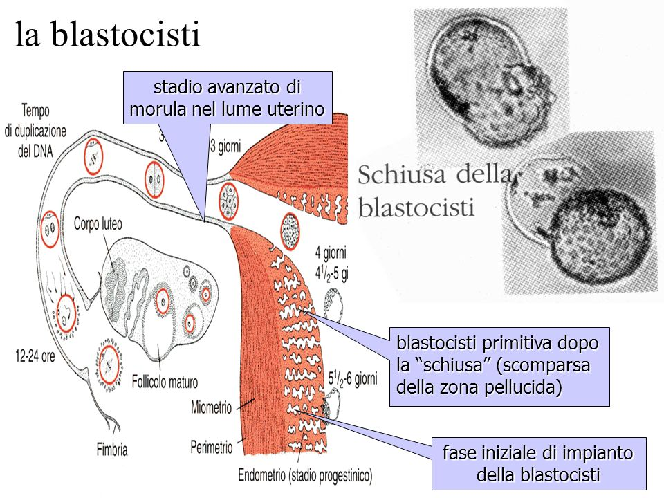 la blastocisti stadio avanzato di morula nel lume uterino