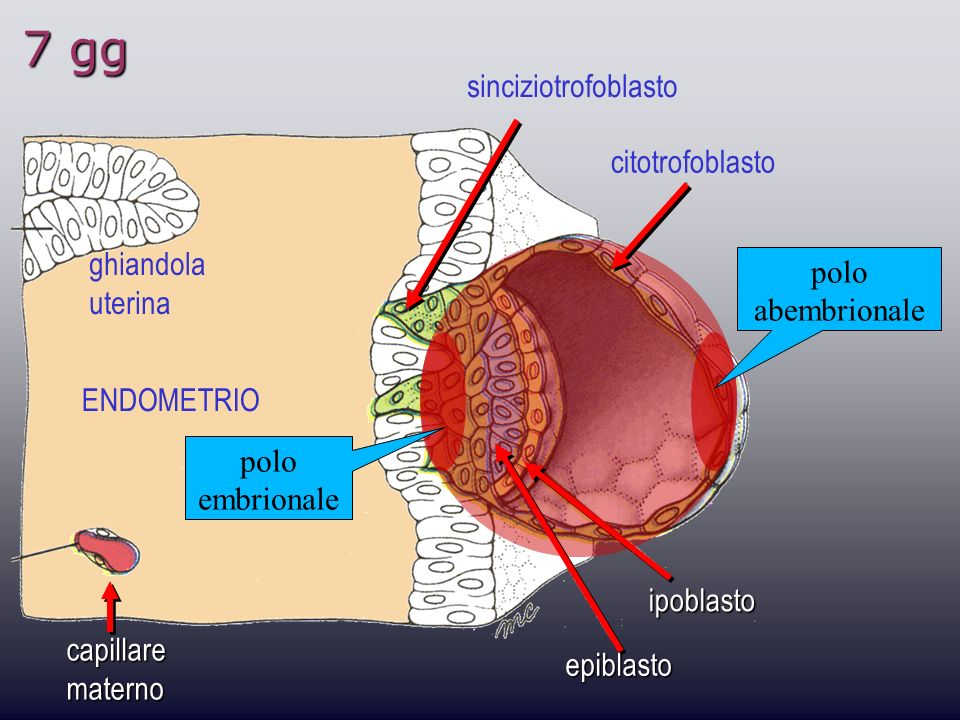 7 gg sinciziotrofoblasto citotrofoblasto ghiandola polo abembrionale