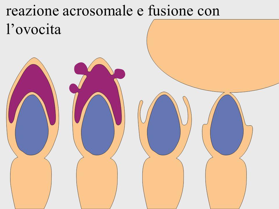 reazione acrosomale e fusione con l'ovocita