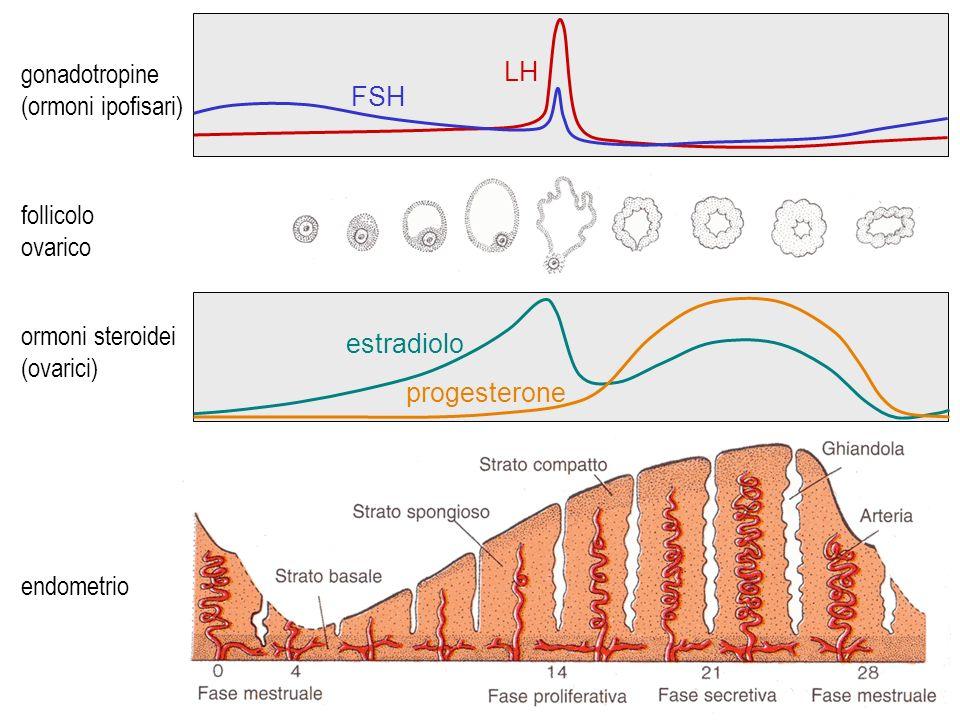 ciclo mestruale gonadotropine LH (ormoni ipofisari) FSH