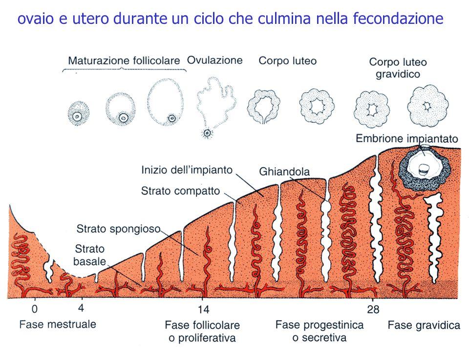 ovaio e utero durante un ciclo che culmina nella fecondazione