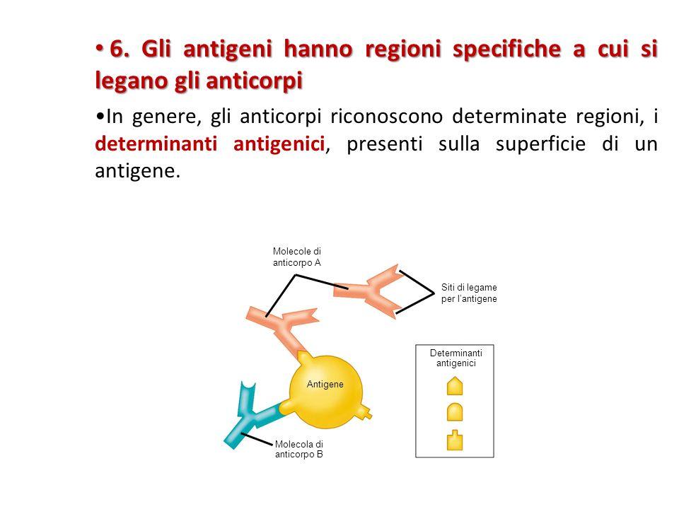 6. Gli antigeni hanno regioni specifiche a cui si legano gli anticorpi