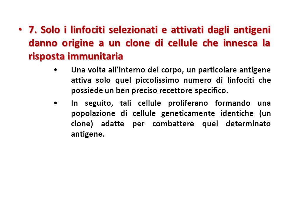 7. Solo i linfociti selezionati e attivati dagli antigeni danno origine a un clone di cellule che innesca la risposta immunitaria
