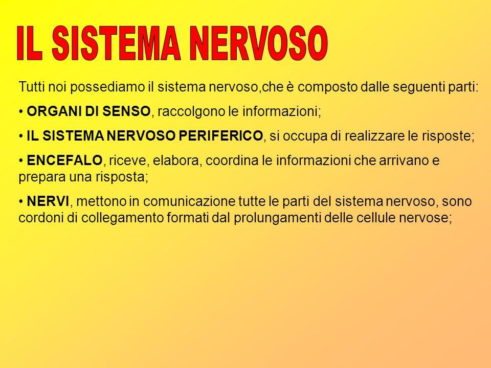 IL SISTEMA NERVOSO Tutti noi possediamo il sistema nervoso,che è composto dalle seguenti parti: ORGANI DI SENSO, raccolgono le informazioni;