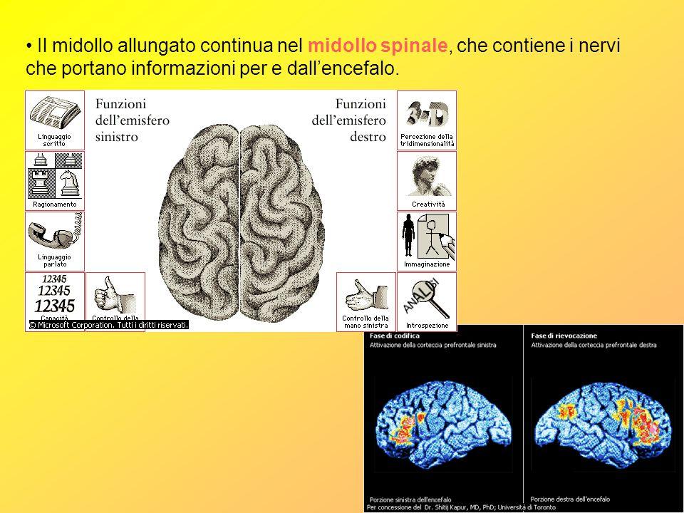 Il midollo allungato continua nel midollo spinale, che contiene i nervi che portano informazioni per e dall'encefalo.