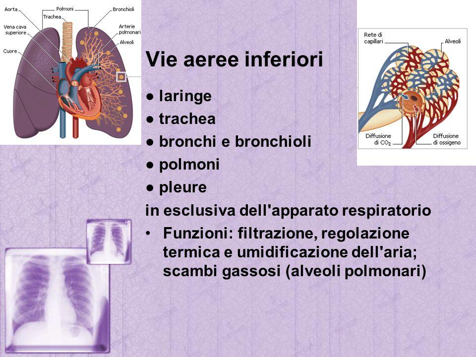 Vie aeree inferiori ● laringe ● trachea ● bronchi e bronchioli