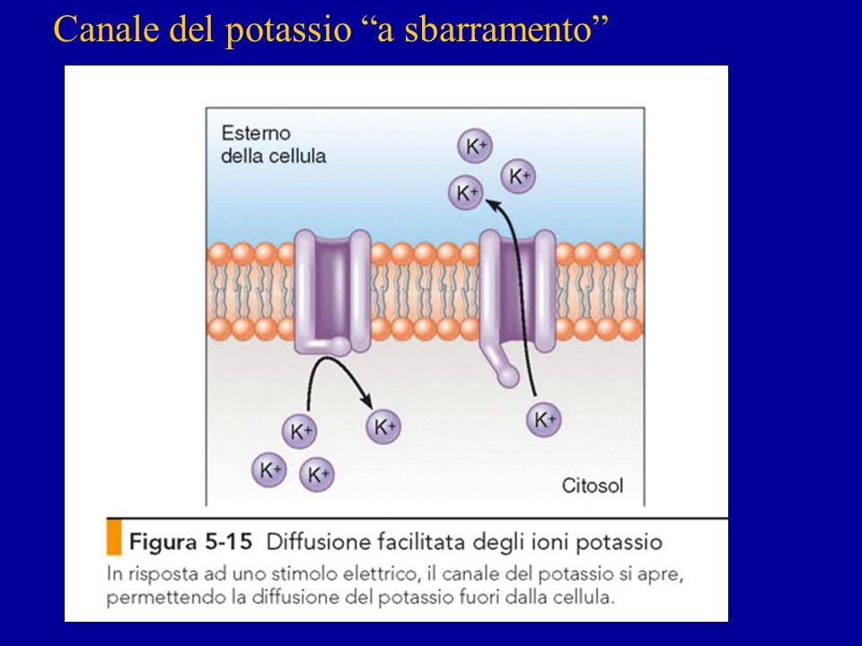 Canale del potassio a sbarramento