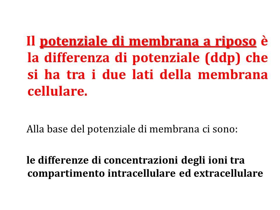 Il potenziale di membrana a riposo è la differenza di potenziale (ddp) che si ha tra i due lati della membrana cellulare.