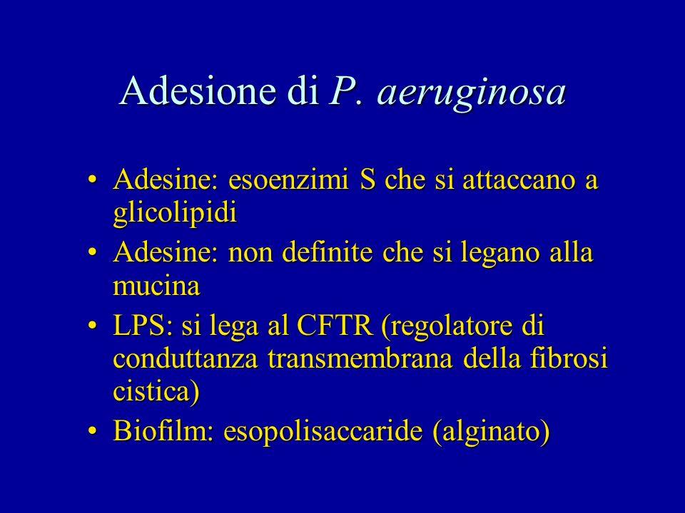 Adesione di P. aeruginosa