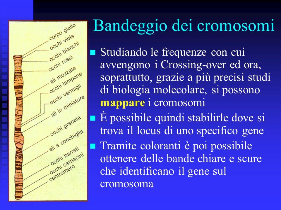 Bandeggio dei cromosomi