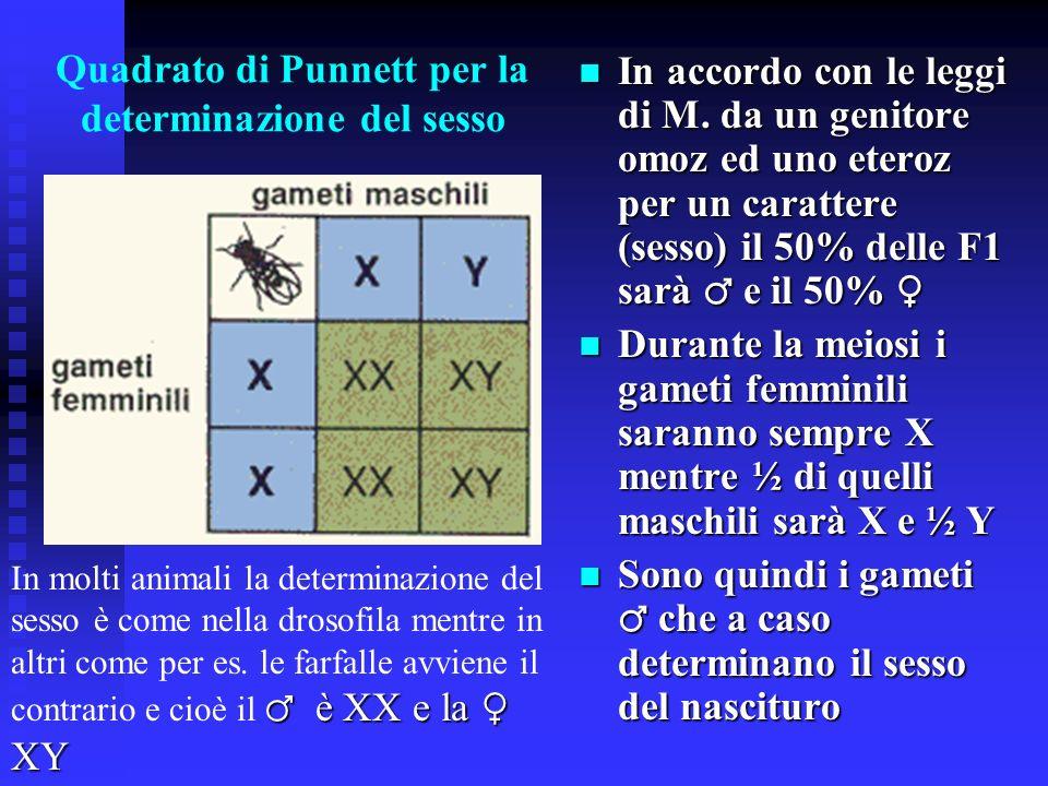Quadrato di Punnett per la determinazione del sesso