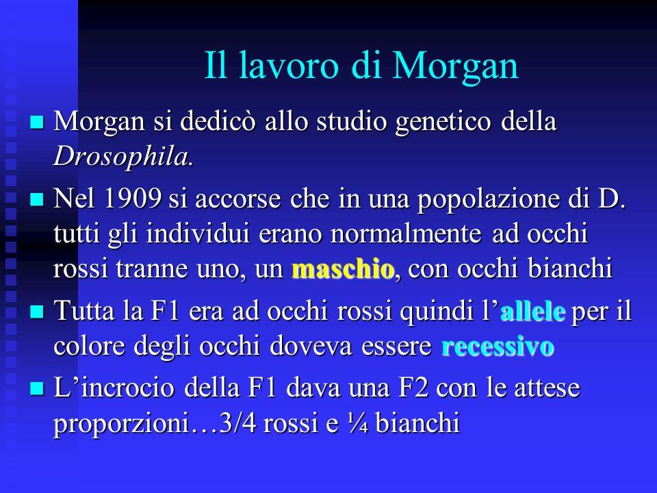 Il lavoro di Morgan Morgan si dedicò allo studio genetico della Drosophila.