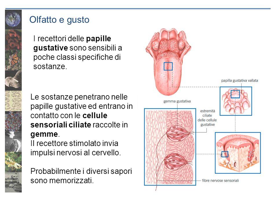 Olfatto e gustoLe sostanze penetrano nelle. papille gustative ed entrano in contatto con le cellule sensoriali ciliate raccolte in gemme.