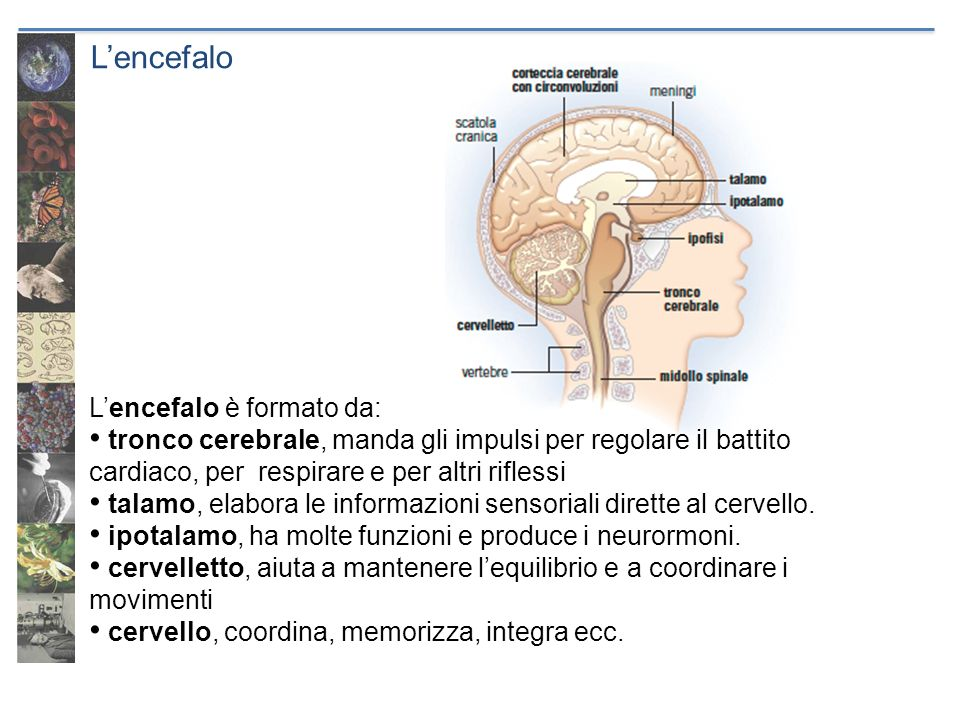 L'encefalo L'encefalo è formato da: