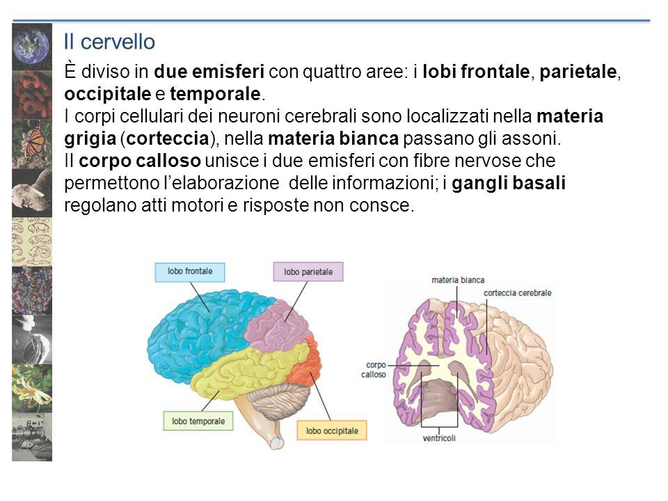 Il cervelloÈ diviso in due emisferi con quattro aree: i lobi frontale, parietale, occipitale e temporale.