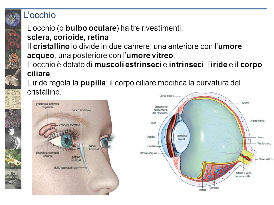 L'occhio L'occhio (o bulbo oculare) ha tre rivestimenti: