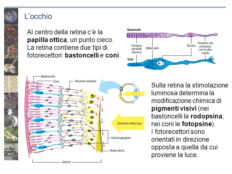 L'occhio Al centro della retina c'è la papilla ottica, un punto cieco.