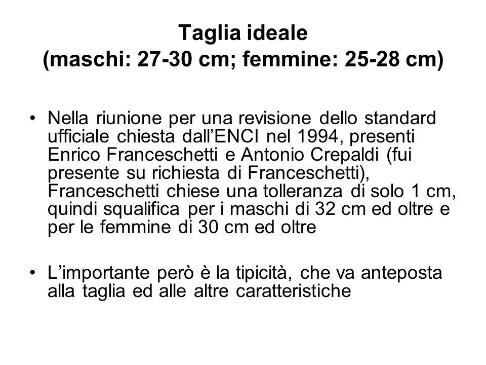Taglia ideale (maschi: 27-30 cm; femmine: 25-28 cm)