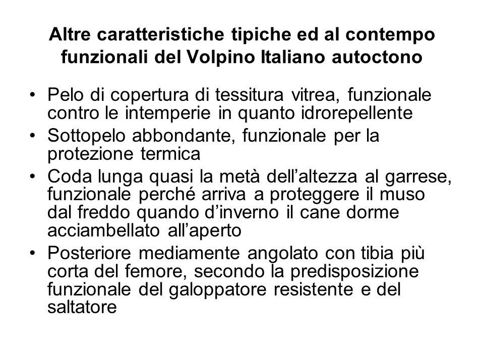 Altre caratteristiche tipiche ed al contempo funzionali del Volpino Italiano autoctono