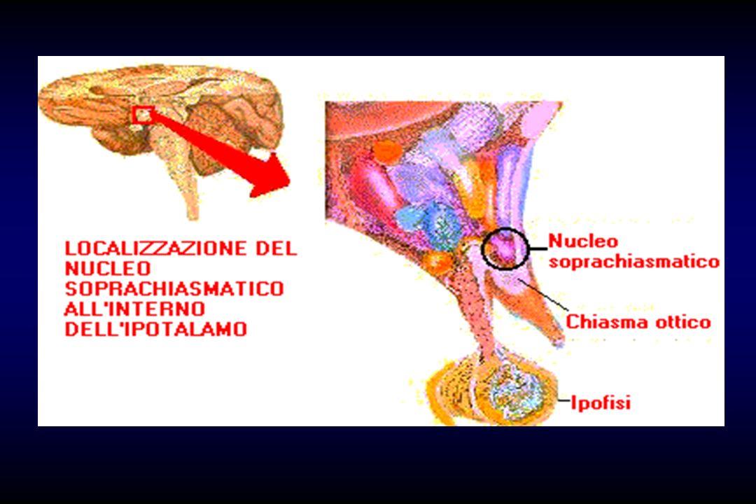 Il nucleo soprachiasmatico, il cui volume non supera gli 0,3 millimetri cubi, produce un segnale che mantiene il resto dell organismo in un ritmo con periodo di 24 ore.
