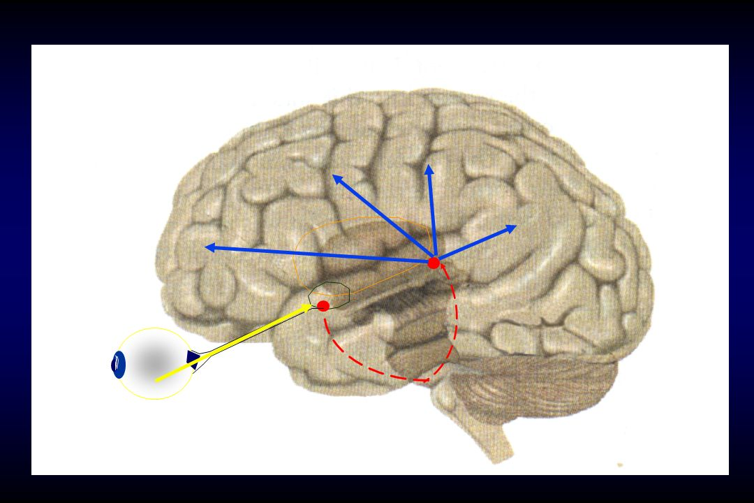 Il nucleo soprachiasmatico è collegato con molte altre strutture cerebrali, a cui invia e da cui riceve stimoli.