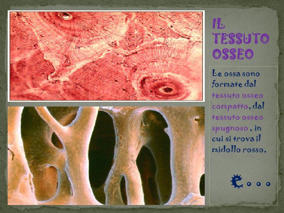 IL TESSUTO OSSEOLe ossa sono formate dal tessuto osseo compatto, dal tessuto osseo spugnoso , in cui si trova il midollo rosso,