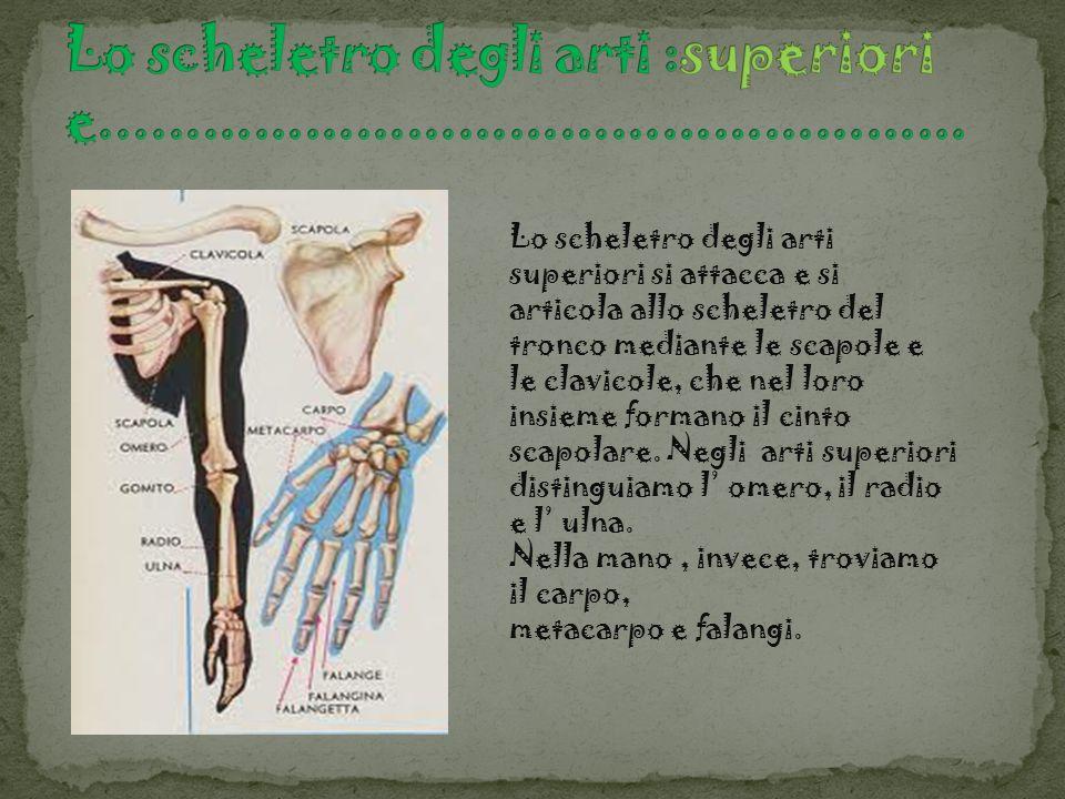 Lo scheletro degli arti :superiori e...................................................