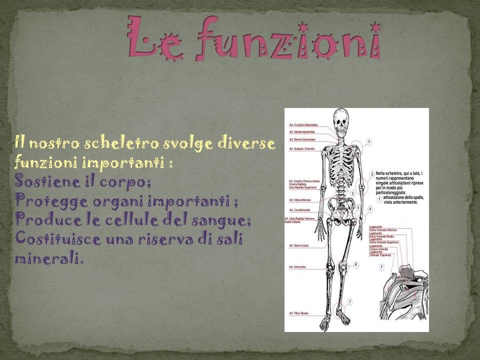 Le funzioni Il nostro scheletro svolge diverse funzioni importanti :