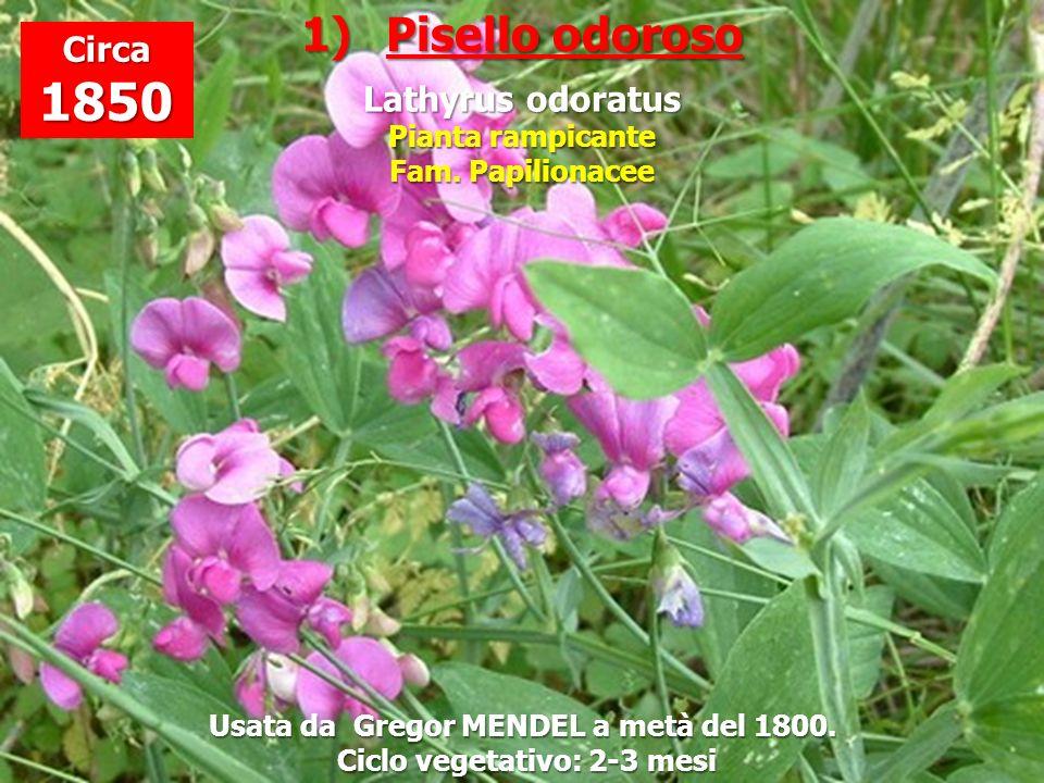 Usata da Gregor MENDEL a metà del 1800. Ciclo vegetativo: 2-3 mesi