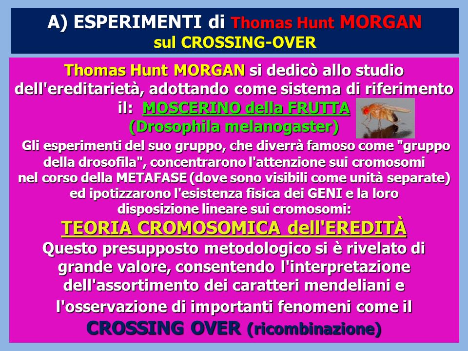 A) ESPERIMENTI di Thomas Hunt MORGAN (Drosophila melanogaster)