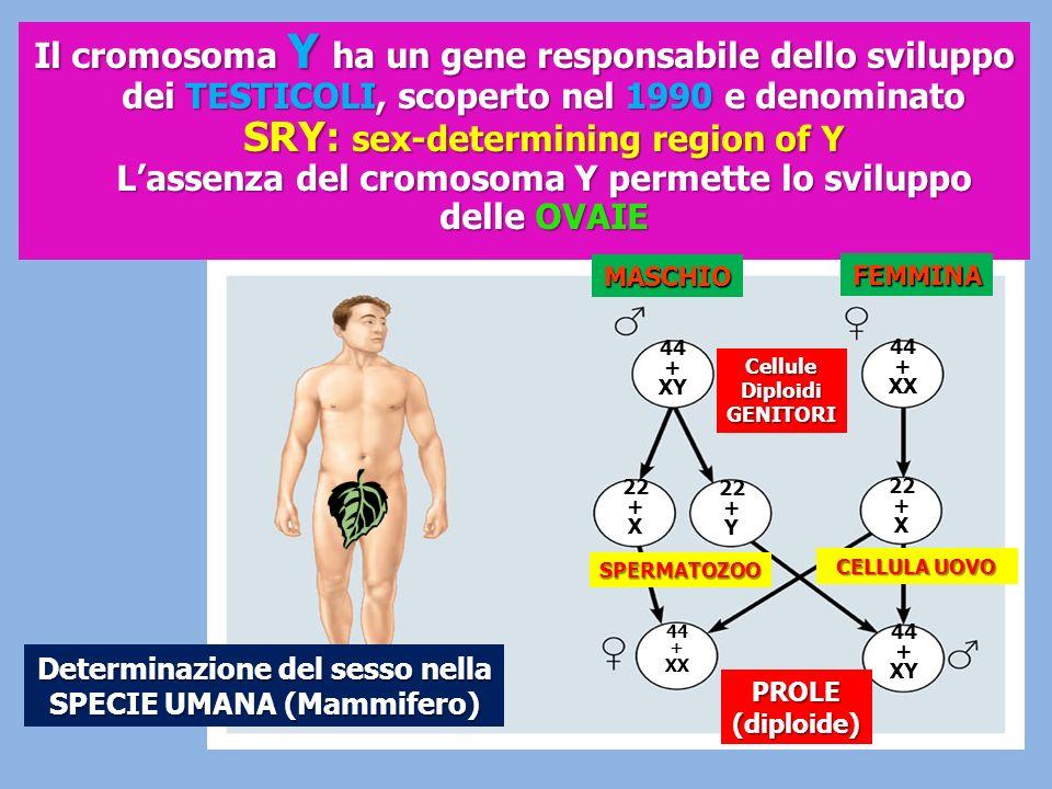 Determinazione del sesso nella SPECIE UMANA (Mammifero)