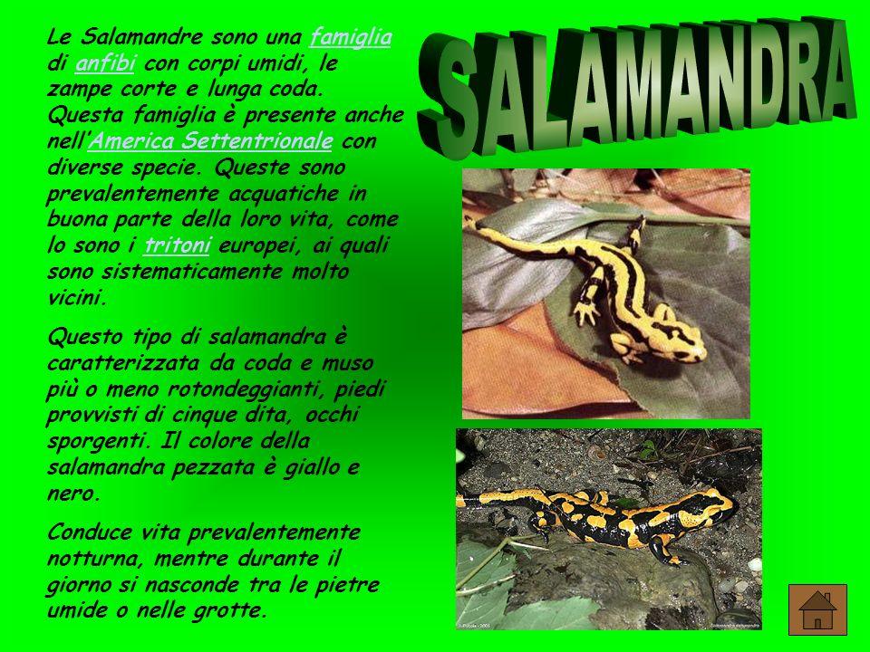 Le Salamandre sono una famiglia di anfibi con corpi umidi, le zampe corte e lunga coda. Questa famiglia è presente anche nell'America Settentrionale con diverse specie. Queste sono prevalentemente acquatiche in buona parte della loro vita, come lo sono i tritoni europei, ai quali sono sistematicamente molto vicini.