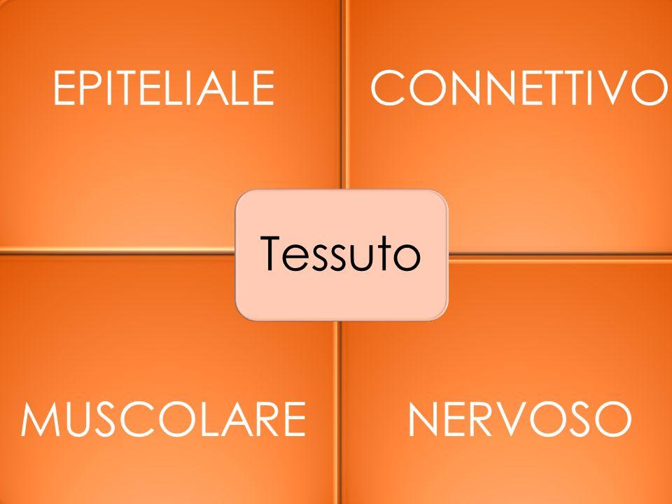 Tessuto EPITELIALE CONNETTIVO MUSCOLARE NERVOSO