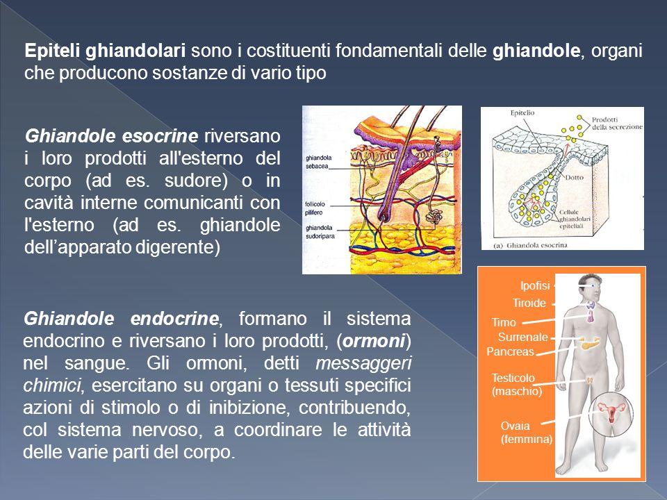 Epiteli ghiandolari sono i costituenti fondamentali delle ghiandole, organi che producono sostanze di vario tipo