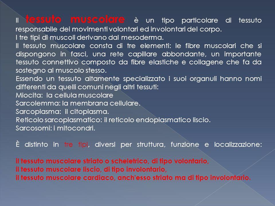 Il tessuto muscolare è un tipo particolare di tessuto responsabile dei movimenti volontari ed involontari del corpo.