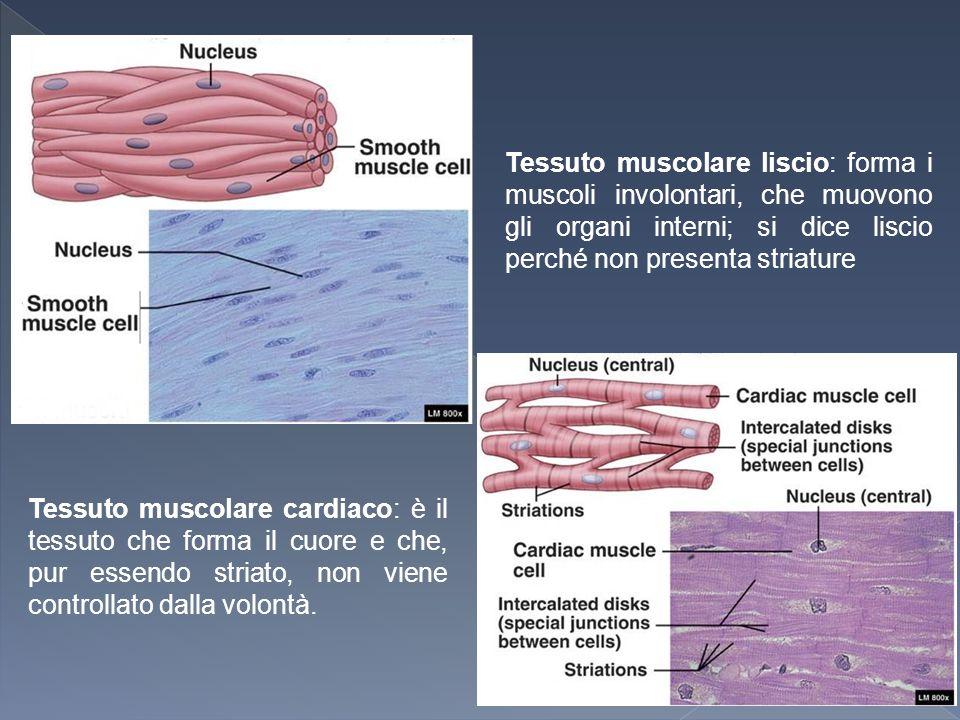 Tessuto muscolare liscio: forma i muscoli involontari, che muovono gli organi interni; si dice liscio perché non presenta striature